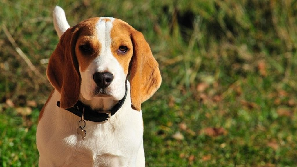 Beagle, the best dog for small game